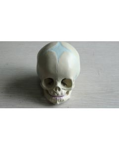 Monday Kids 1:1 Human Fetal Baby Infant Anatomical Skull for Art Sketch High Simulation Teaching use for human anatomy model