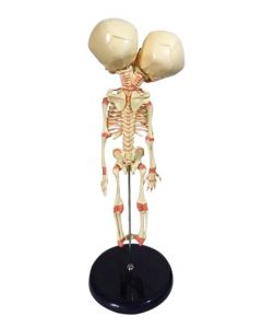 Monday Kids 37cm Human New Double Head Baby Anatomy Skull Skeleton Anatomical Brain Anatomy Education Model Anatomical Study Display
