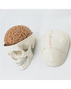 Monday Kids Human Life Size Numbered Skull With Brain Model anatomy skeleton veterinary anatomical brain anatomia science Exploded skull