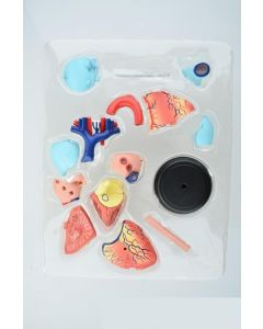 Monday Kids Human heart educational toys assembled model assembled model medical model, teaching model