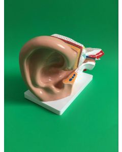 Monday Kids 3X Enlar the enlarged ear model Ear structure anatomy Human ear anatomical model with denture teeth organizadores for esquelet