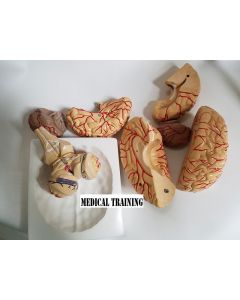 Monday Kids anatomical brain model arteries 9parts  42number for learning resource medical student learning kits