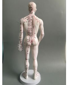 Monday Kids Human Body Acupuncture Model Male Meridians Model Chart Book Base 50cm