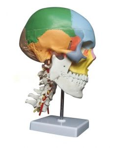 Monday Kids human anatomy skeleton anatomical model for sale skull with colored bones cervical vertebra Medical Beige Sculpture