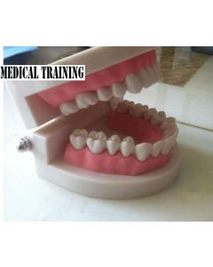 Monday Kids Standard Tooth Teaching Giant Dental Dentist Teeth Child Kidtraining model Extractions of Medical Education Educational Model